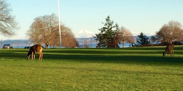 Deer on the parade grounds at Fort Worden. Cascade Mountains across the water.