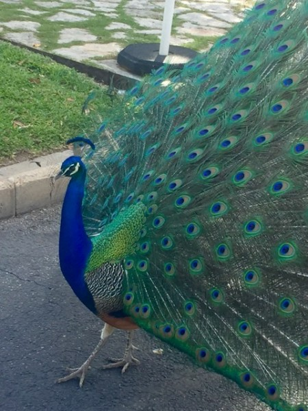 And speaking of peacocks, my blogging compatriots, The Young Fulltimers, wrote recently about a new RV resort by that name, opening soon in east Texas. It's clothing optional. Bare if you dare!